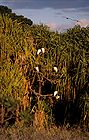 Cattle egret in a tree 0644.jpg