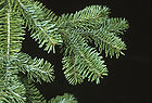 Abies balsamea - Balsam Fir Tree Branch.jpg