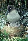 Light mantled sooty albatross & chick 0098.jpg