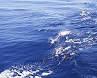 Dolphin (Stenella sp.) . Speed and joy combined 0898.jpg