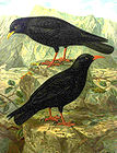 Red-billed and Alpine Choughs - Pyrrhocorax naumann 004.jpg