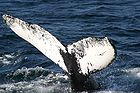 Humpback whale flukes - used to identify individuals of this species 0922.jpg