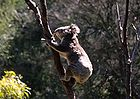 Koala bear (Phascolarctos cinereus), not a bear but an herbivorous marsupial 0653.jpg