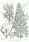 Aesculus indica 019.png