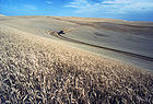 Wheat harvest 001.jpg