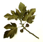 Fig Tree leaves and figs.jpg