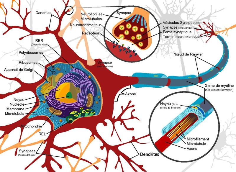Filecomplete neuron cell diagram fr frenchpdf the work of filecomplete neuron cell diagram fr frenchpdf ccuart Image collections
