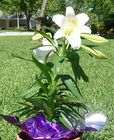 Easter Lily 004.jpg