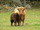 Long Horned Cattle Female And Her Young 001.jpg