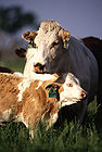 Cow and Calf 001.jpg