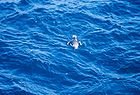 Unidentified sea bird 0413.jpg