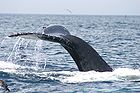 Humpback whale flukes - used to identify individuals of this species 0927.jpg