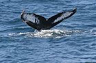 Humpback whale flukes - used to identify individuals of this species 0924.jpg