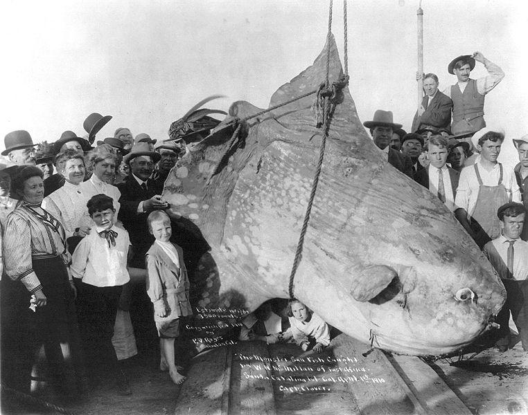 Ikan mola mola merupakan salah satu hewan terbesar di dunia!