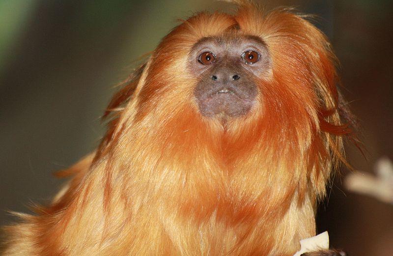 Beardy Monkey: File:Brown Bearded Monkey 001.jpg