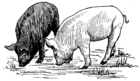 Pig (PSF).png