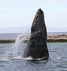 Gray whale breaching in a lagoon on the coast of Mexico 1723.jpg