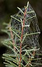 A dew-covered spider web 0632.jpg