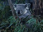 Koala bear (Phascolarctos cinereus), not a bear but an herbivorous marsupial 0654.jpg