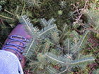 Abies fraseri - Fraser Fir Tree Seedlings 001.jpg