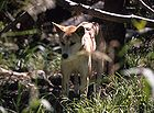 Dingo (Canis lupus dingo) Australian wild dog or warrigal as it is called 0655.jpg