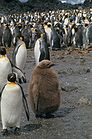 King Penguins & chicks 0092.jpg