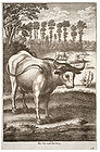 Wenceslas Hollar - Ox and Frog 001.jpg