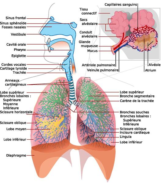 file:respiratory system complete français french.pdf - the work of, Skeleton