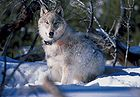 130 Pound Wolf Watches Biologists in Yellowstone National Park.jpg