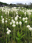 Beargrass with Fog on Mountains in Glacier National Park 001.jpg