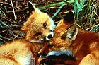 Red Fox Kits.jpg