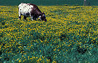 Cow Eating Birdsfoot trefoil, containing tannin, a natural antibloating compound 001.jpg