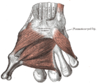 Gray426 Muscles and fasciae of the hand.png