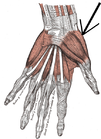 Musculus opponens pollicis.png