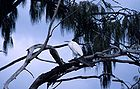 Cattle egret in a tree 0645.jpg
