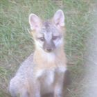Juvenile gray fox.JPG