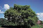 Acer negundo - Box Elder - Maple Ash 002.jpg