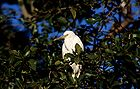 Cattle egret 0649.jpg