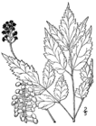 Actaea pachypoda drawing.png
