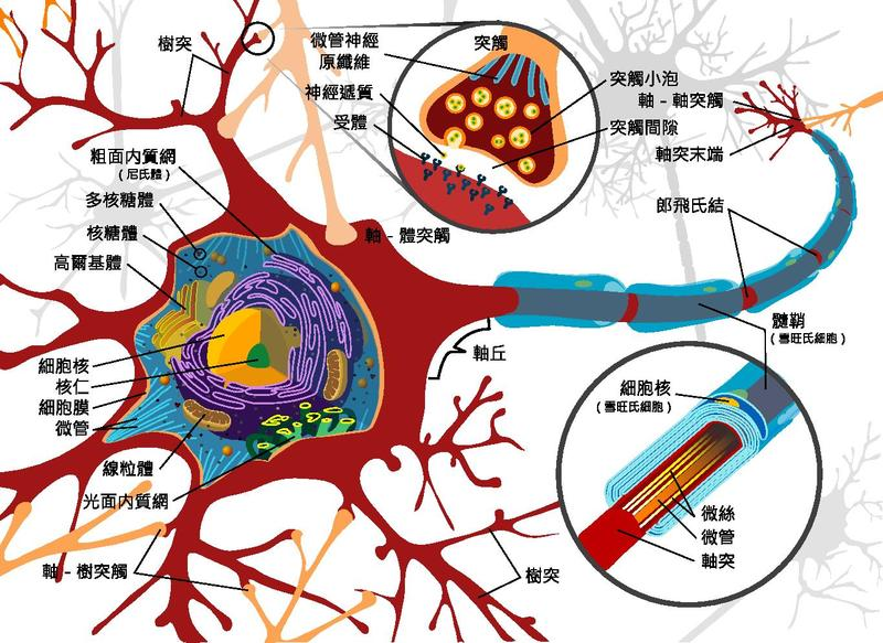 File Complete Neuron Cell Diagram Zh-hant Chinese Pdf