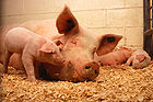 Piglets and Pig 001.jpg