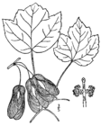 Acer rubrum trilobum drawing.png
