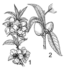 Almond plant 001.png