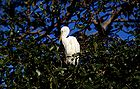Cattle egret 0647.jpg