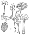 Abronia fragrans drawing.png