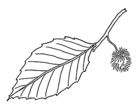 Beech - leaf and fruit 001.png