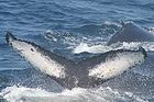 Humpback whale flukes - used to identify individuals of this species 0923.jpg