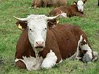 Red And White Cow 001.jpg
