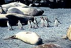 Royal Penguins & elephant seals 0087.jpg